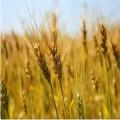 Агроцентър - Георги Георгиев ET - Маслодайни и фуражни култури