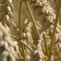 ПИВЕЛ ООД – Зърнопроизводител от Монтана