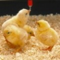 Птицевъдство, Земеделие, Селско стопанство Агрокартел ЕООД