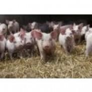 Развъждане на прасета - Свинекомплекс Карапелит